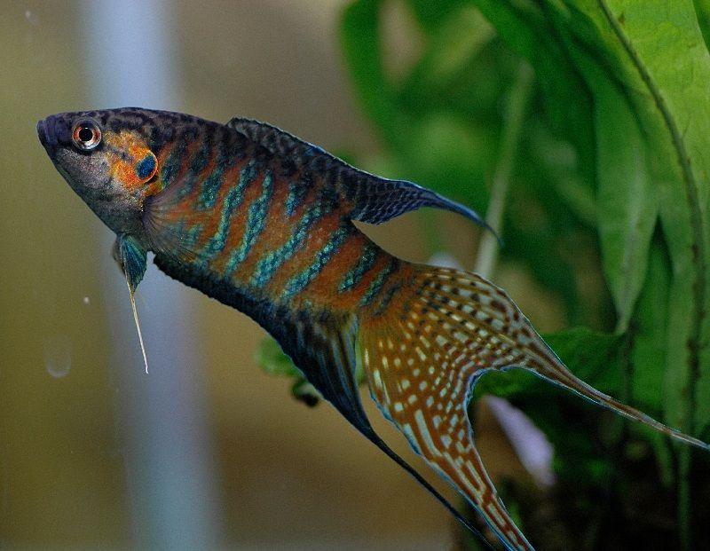 5 Jenis Ikan Cupang untuk Kamu Pelihara